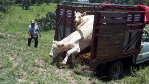 Centroamérica ganado ilegal