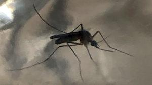 mosquitos coolex