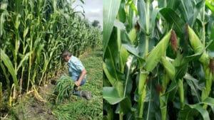 Costos Maíz Tanhuato Agricultura Sustentable