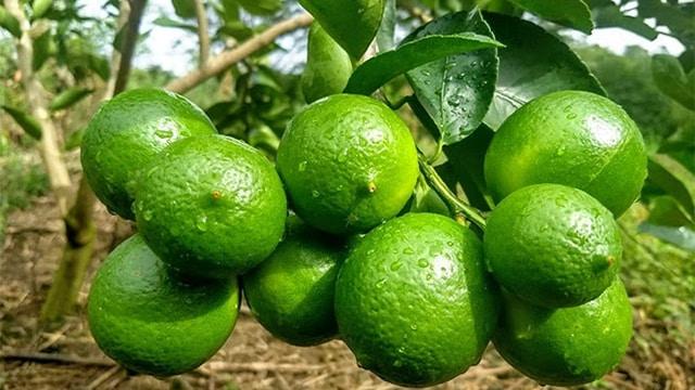 limón Michoacán 2