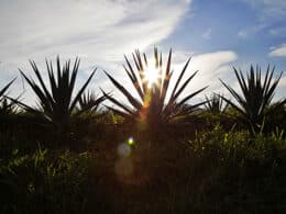 agave libre de deforestación