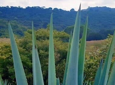 agave ARA