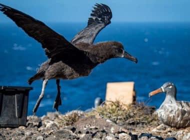 albatros patas negras 1