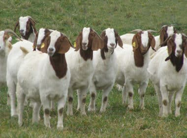 carne de cabra