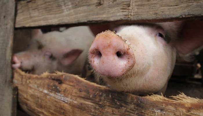 carne de cerdo La Piedad