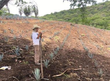 agave cultivo SADER